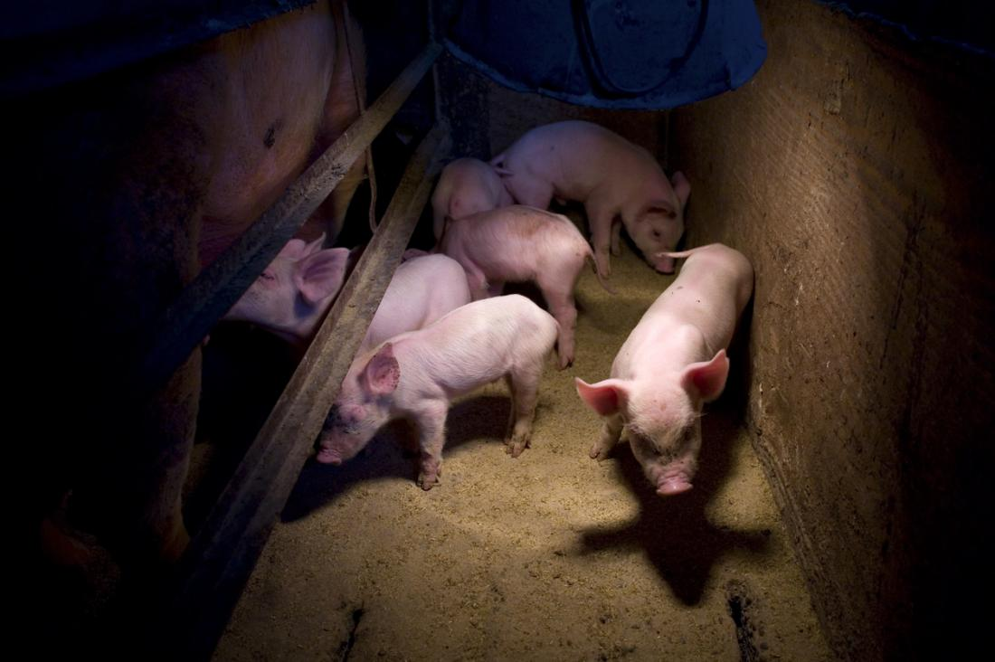 swine flu symptoms first signs