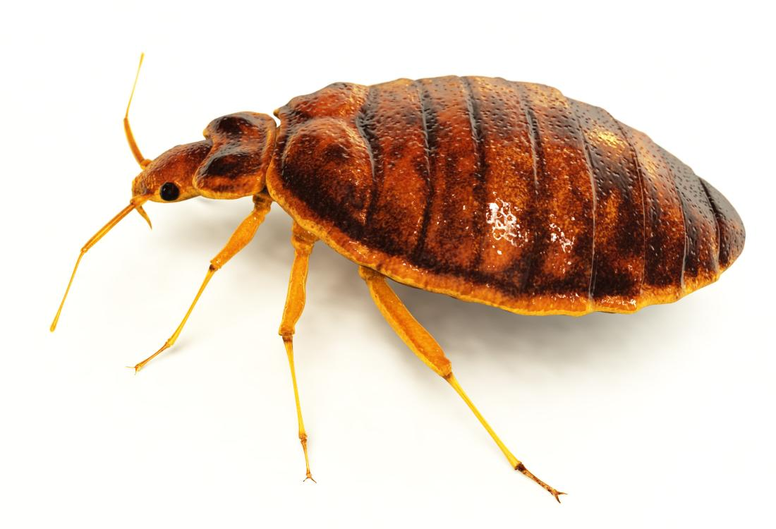 Bedbugs: Symptoms, treatment, and removal