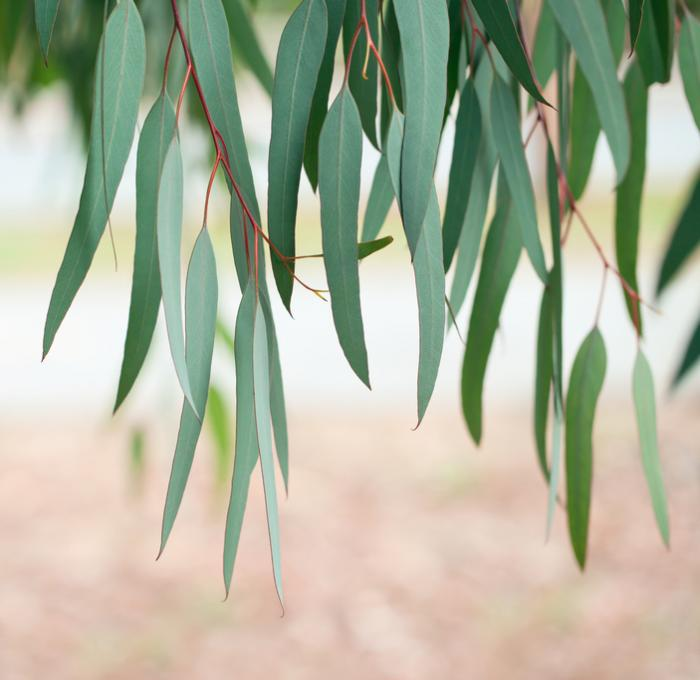 Eucalyptus: What are the health benefits?