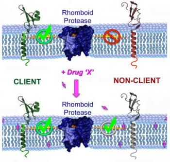 Drugs Can Increase the Proteins Cut by Rhomboid Proteases