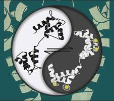 The dynamic interplay of calcium-free calmodulin and calcium-bound calmodulin controls the opening of ion channels