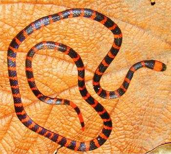 The Coral Snake Micrurus mipartitus