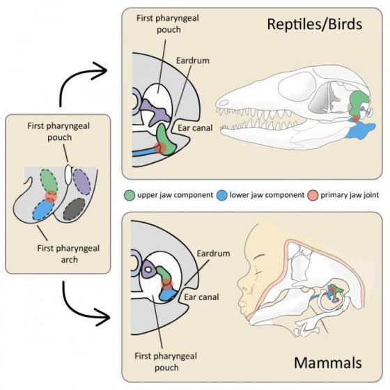 Morphology of the Primary Jaw Joint in Mammals and Reptiles/Birds