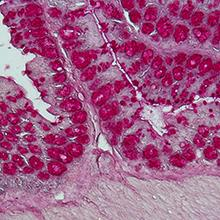 Histological staining of a colon section