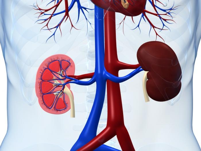 [Kidney diagram]