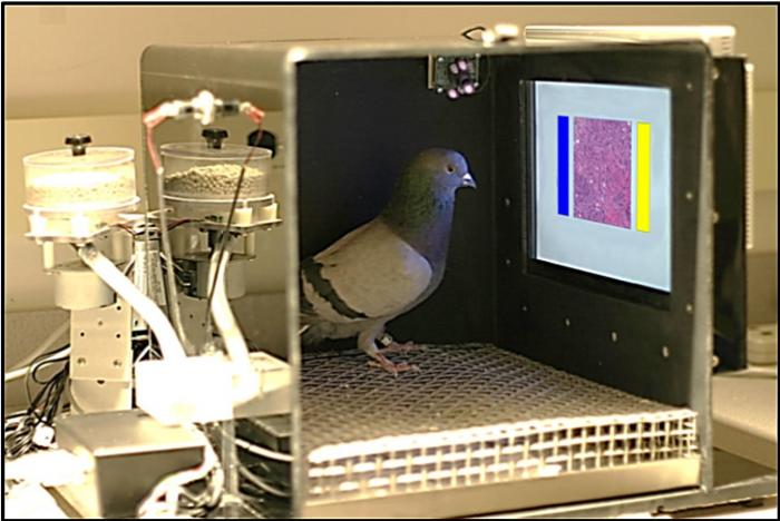 Pigeons May Provide Insights on How Pathologists, Radiologists Acquire Visual Skills