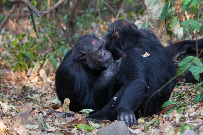 Being Sociable Boosts Gut Microbe Diversity In Chimpanzees
