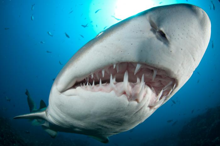 How sharks could aid human tooth regeneration