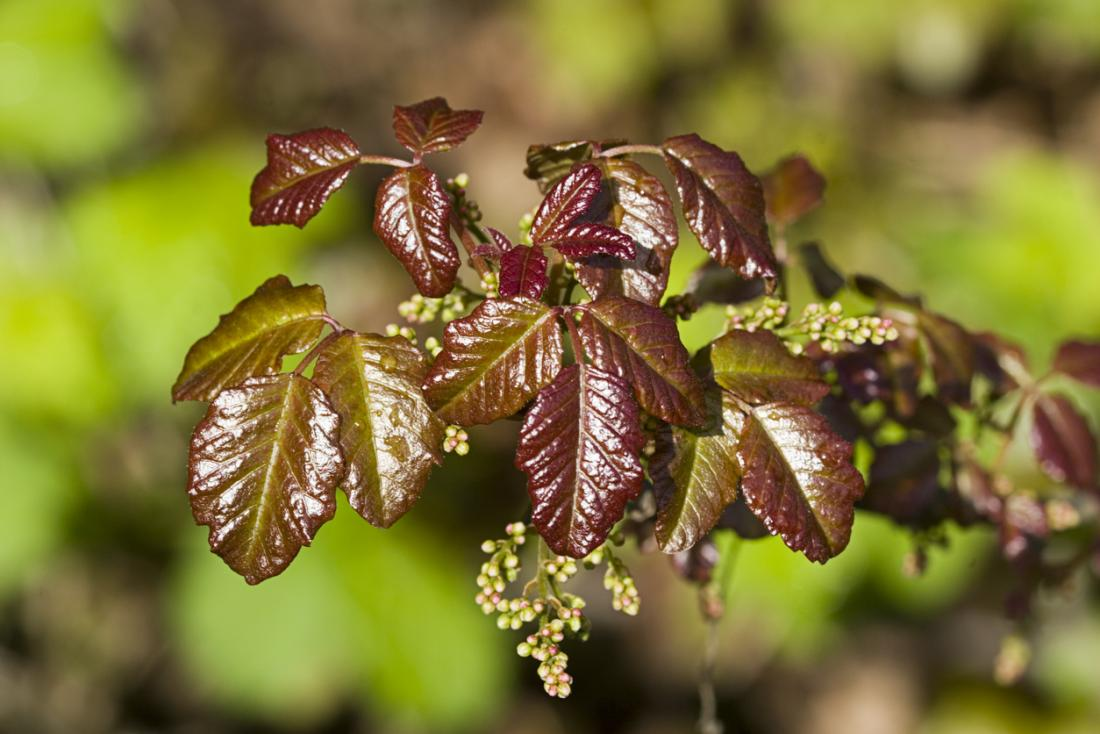 Poison oak rash: Photos and treatment options