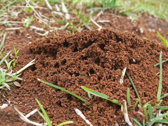 Fire ant bites: Treatment, symptoms, what they look like