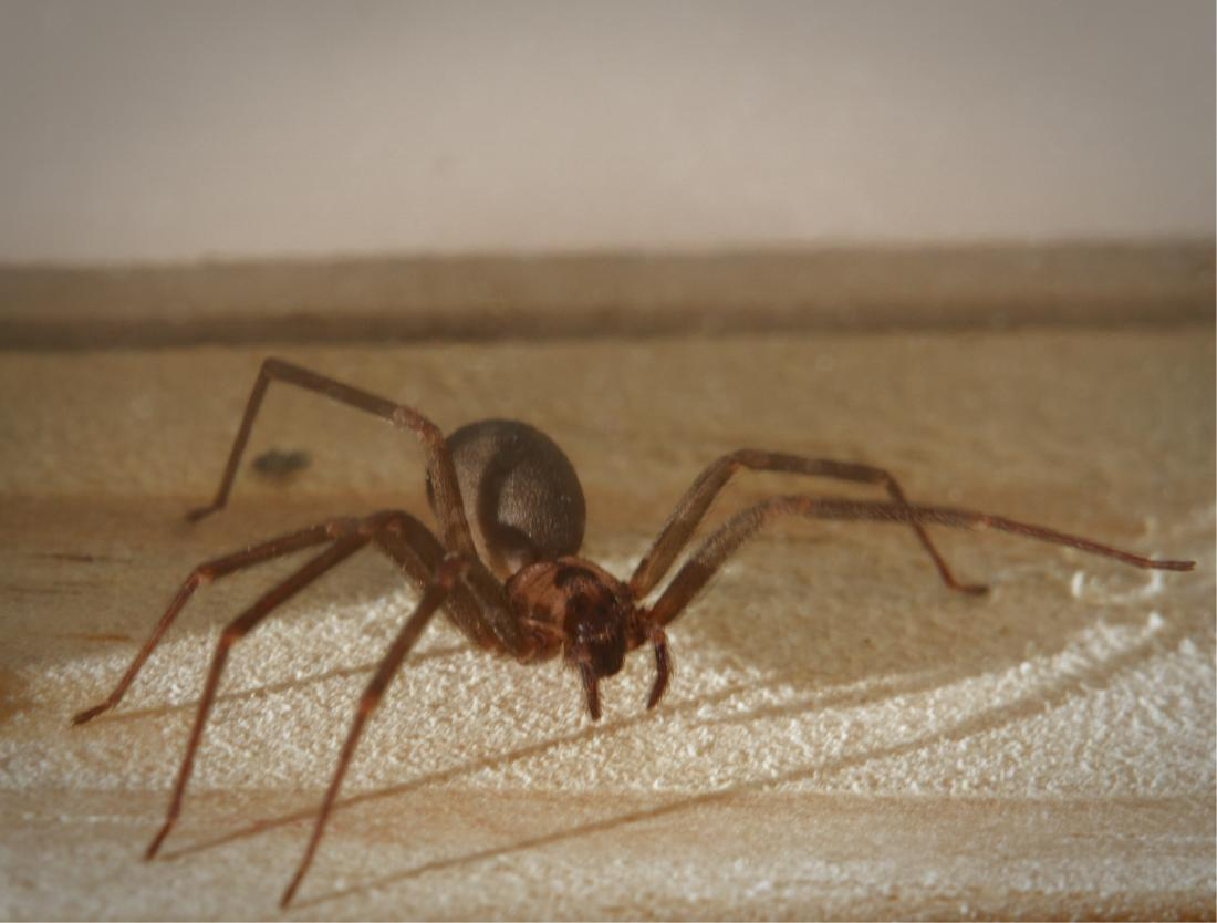 Brown recluse spider bite: Appearance, symptoms, and home treatments