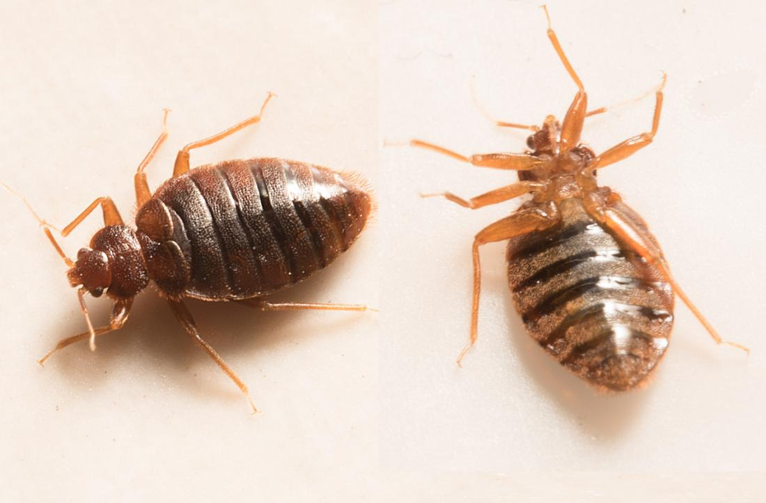 Bed bug bites: Pictures, treatment, and prevention