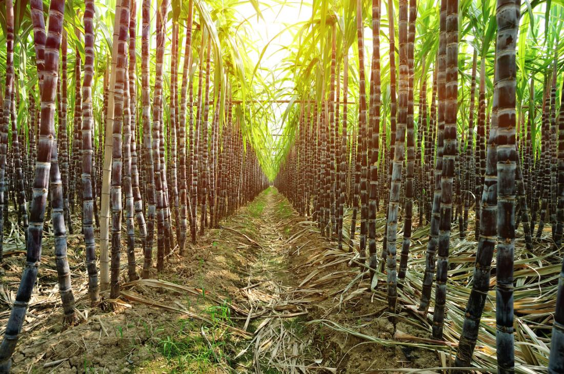 Sugarcane extract may relieve stress-induced insomnia