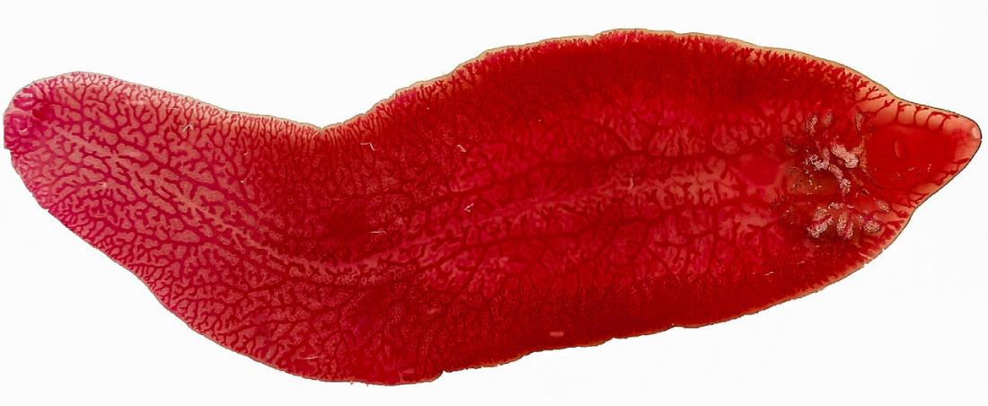 Liver fluke: Symptoms and treatment