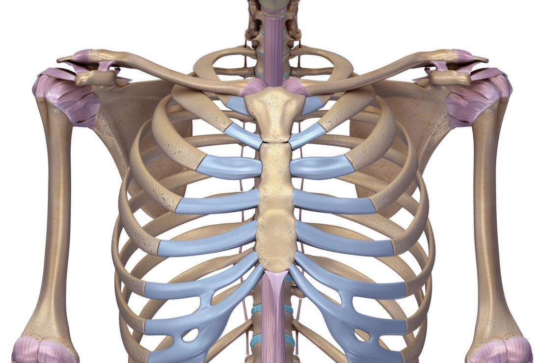 3D model of ribcage and sternum.