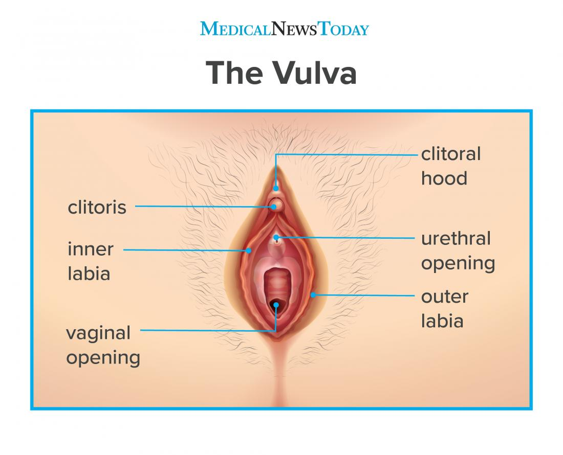 infographic of the vulva showing the clitoral hood