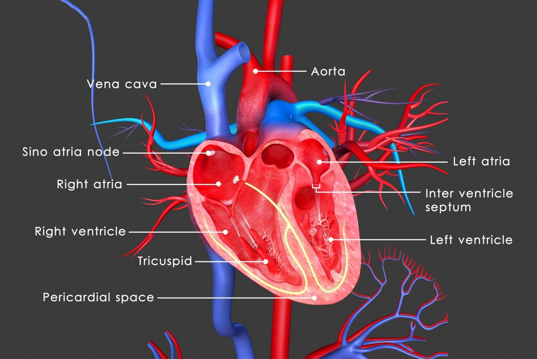 The heart: Anatomy, physiology, and function