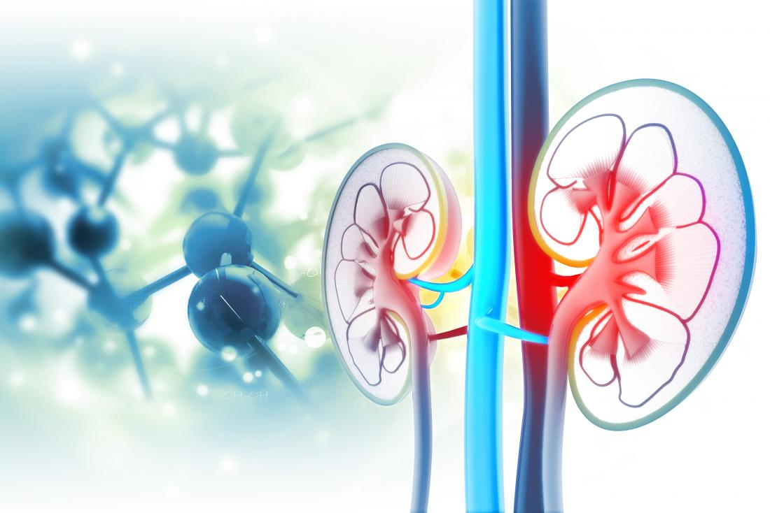 cross section of kidneys