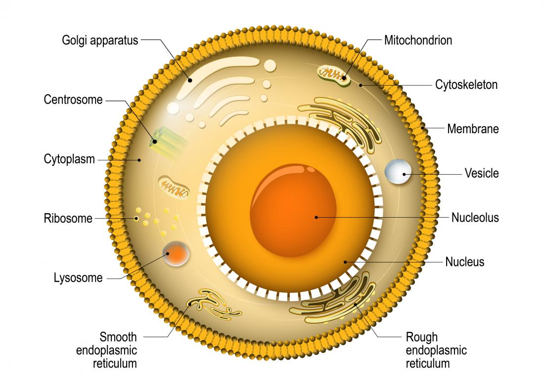 The Cell  Types  Functions  And Organelles