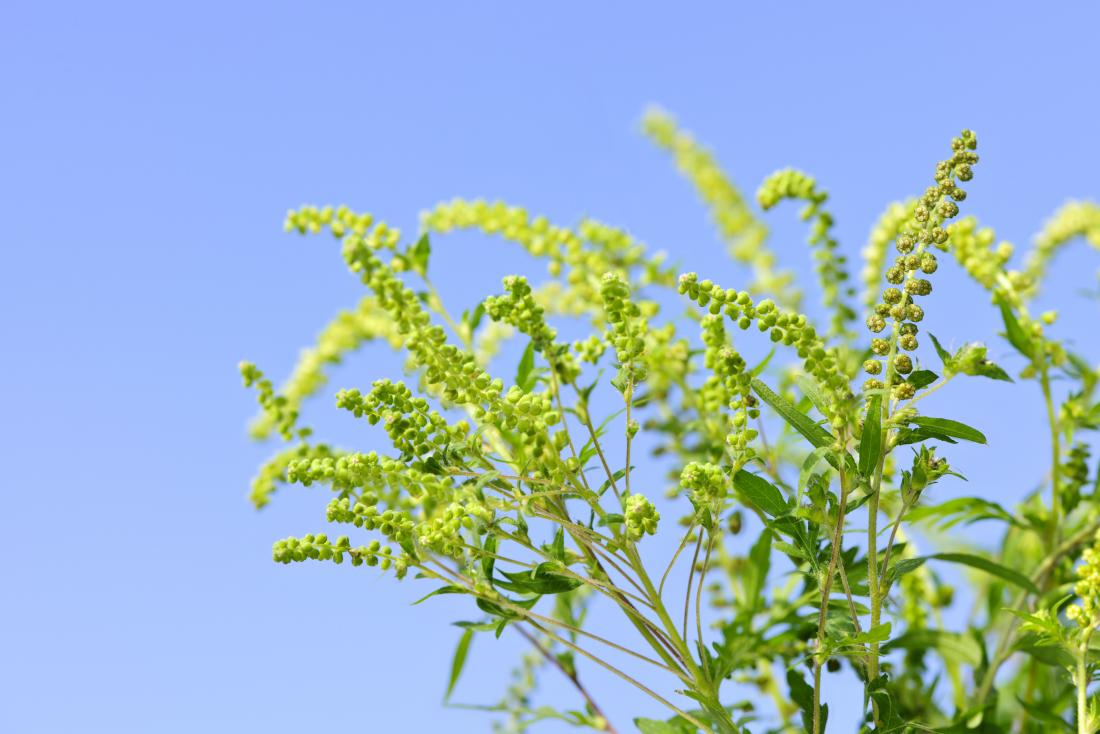 Ragweed allergy: Symptoms, treatment, and prevention