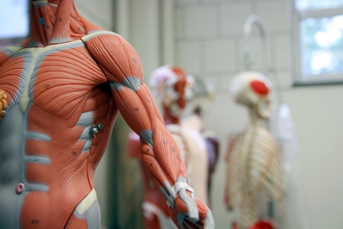 11 functions of the muscular system: Diagrams, facts, and structure