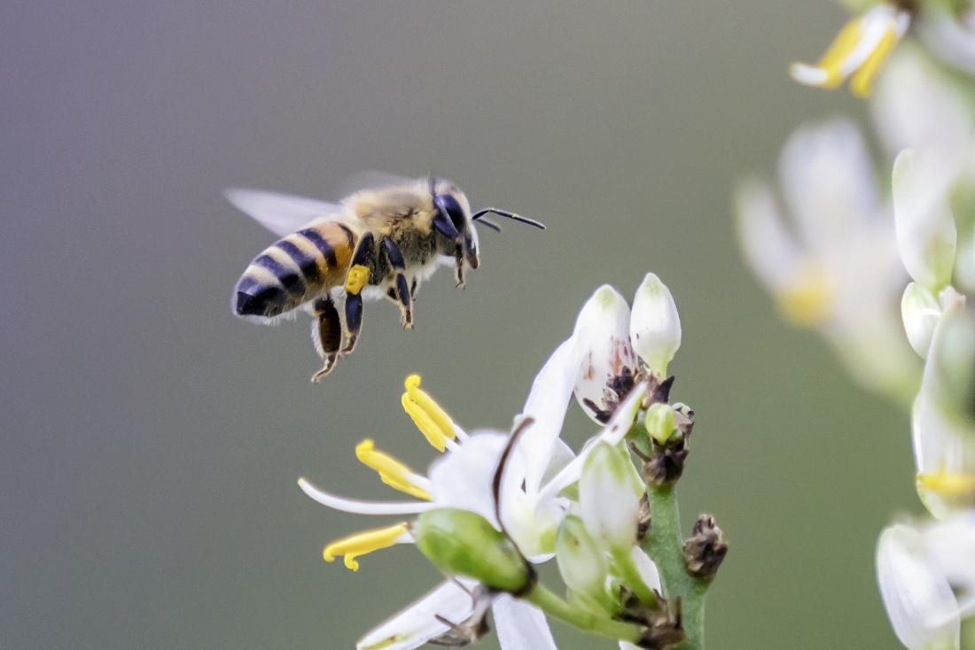 Bee sting allergy: Symptoms, causes, and treatment