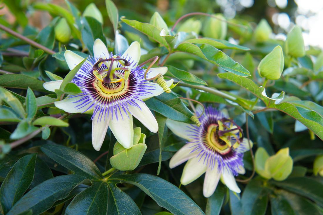 Passionflower for anxiety and sleep: Benefits and side effects