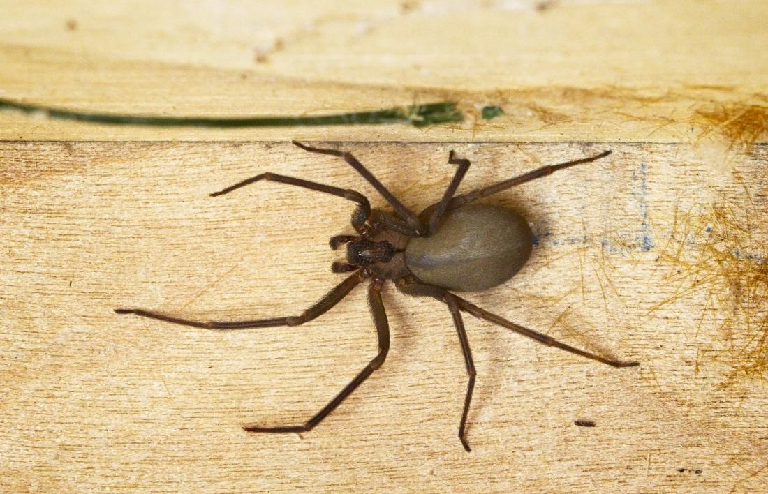 Wolf Spider Bite Symptoms Treatment And Prevention