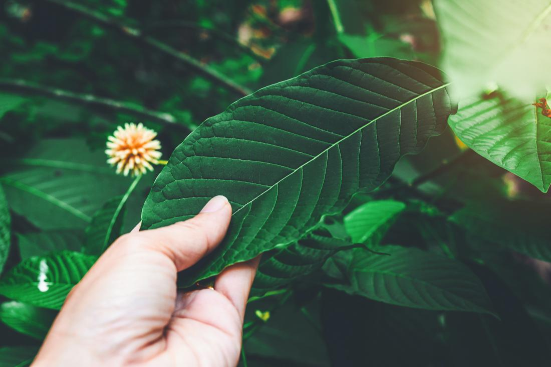 Is kratom safe? Risks and effects