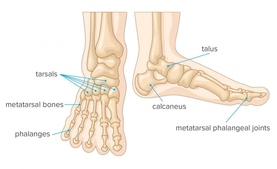 Bones of the foot infographic