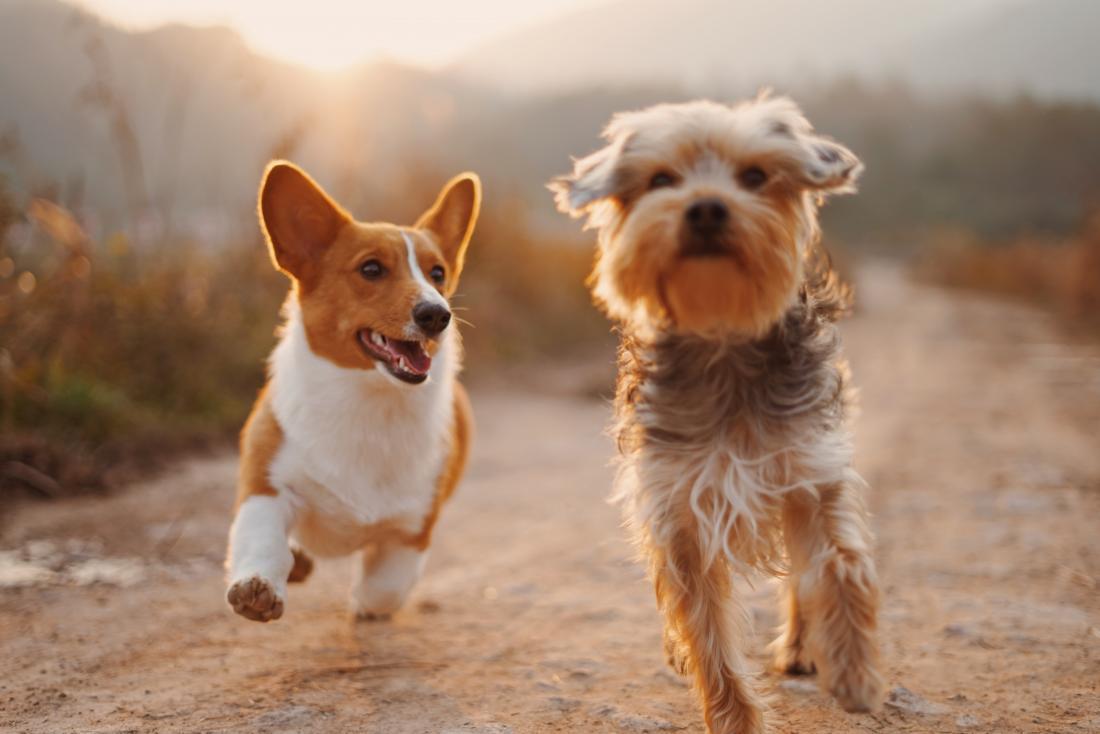 How selective breeding has altered dogs' behavior