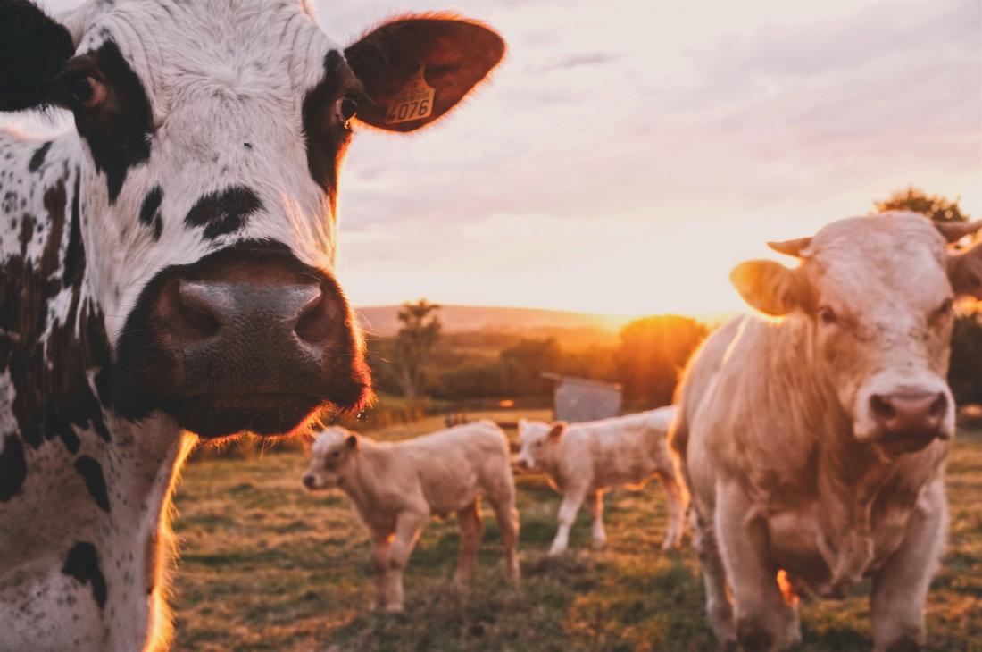 image of cows in a field