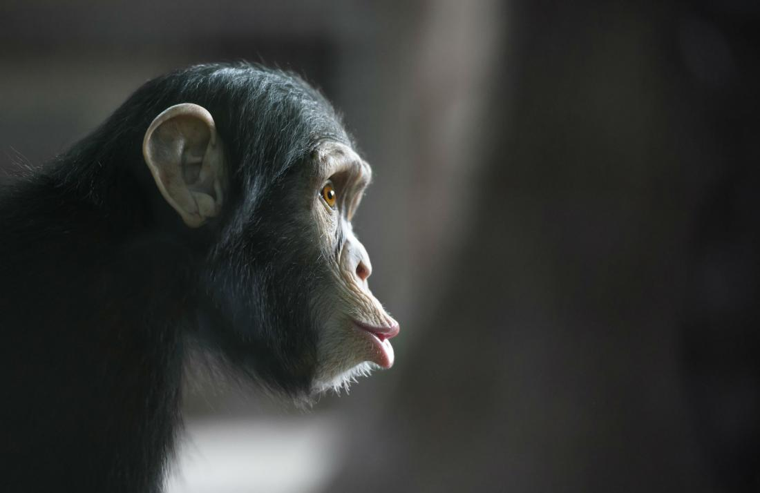 Apes may 'read' others' mental states, just like humans