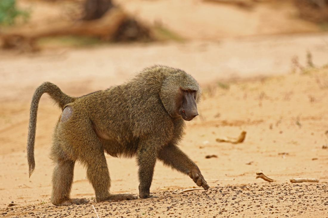 photo of baboon in the wild