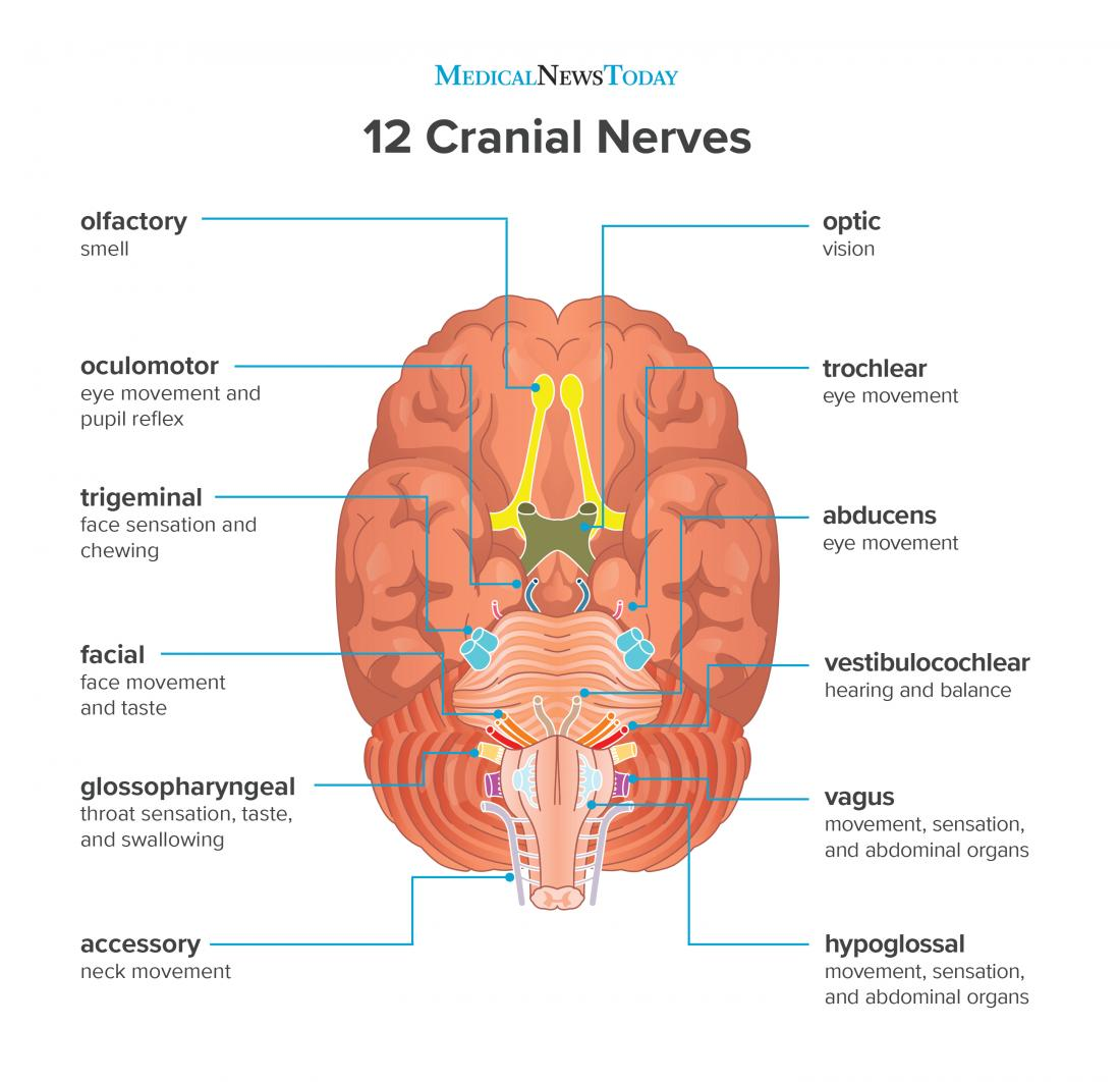 What are the 12 cranial nerves?