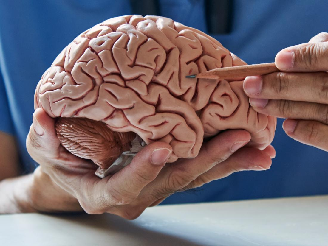 a person pointing to neurotransmitters on a model of a brain.