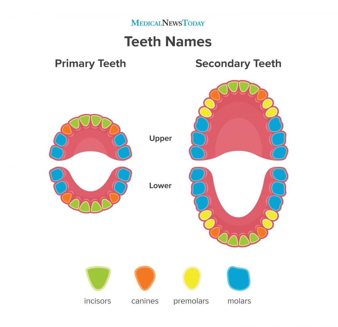 an infographic of teeth.