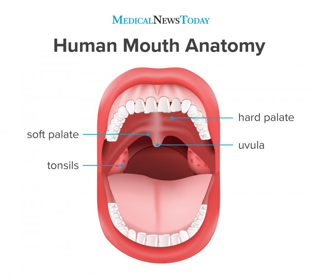 an infographic of the human mouth
