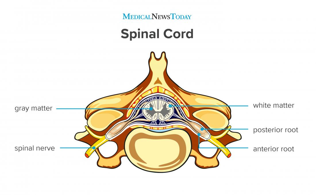 a diagram of the spinal cord.