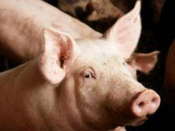 Swine flu: Causes, symptoms, and treatment