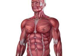 11 functions of the muscular system: Diagrams, facts, and