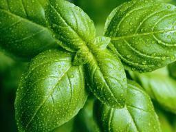Mint: Benefits, diet, risks, and nutrition