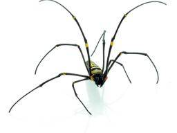 Black widow spider bite: Causes, appearance, symptoms, and