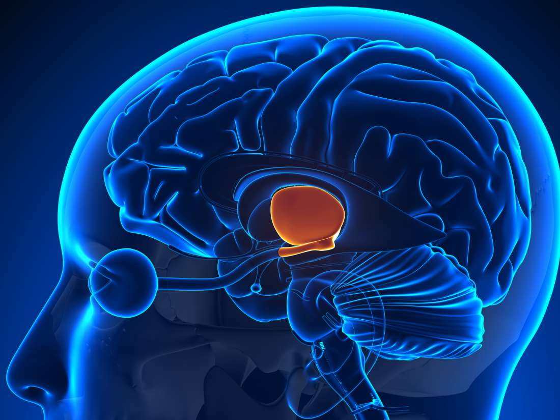 Hypothalamus Function Hormones And Disorders
