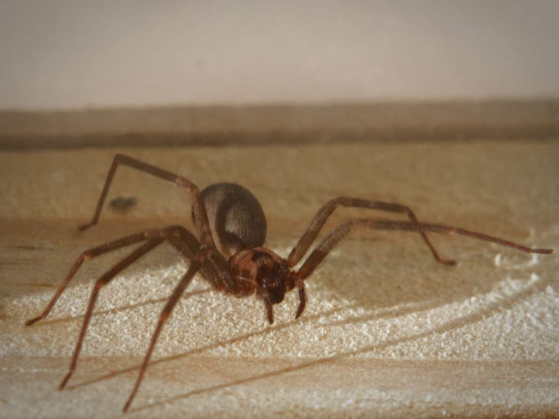 Spider bites: Identification and treatment