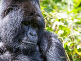 Rare sightings suggest mountain gorillas may delight in water play
