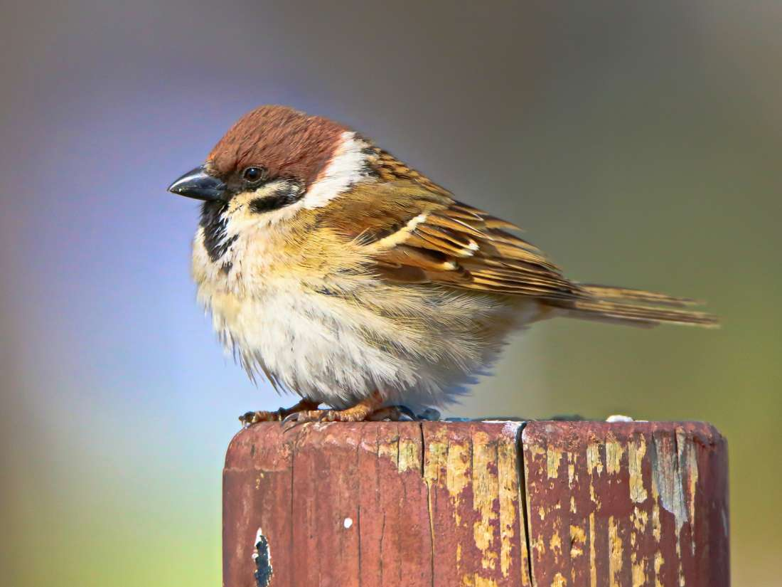 North American birds declined by 29% since 1970