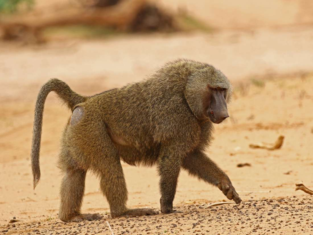 Why baboons may provide clues about human gut microbiome