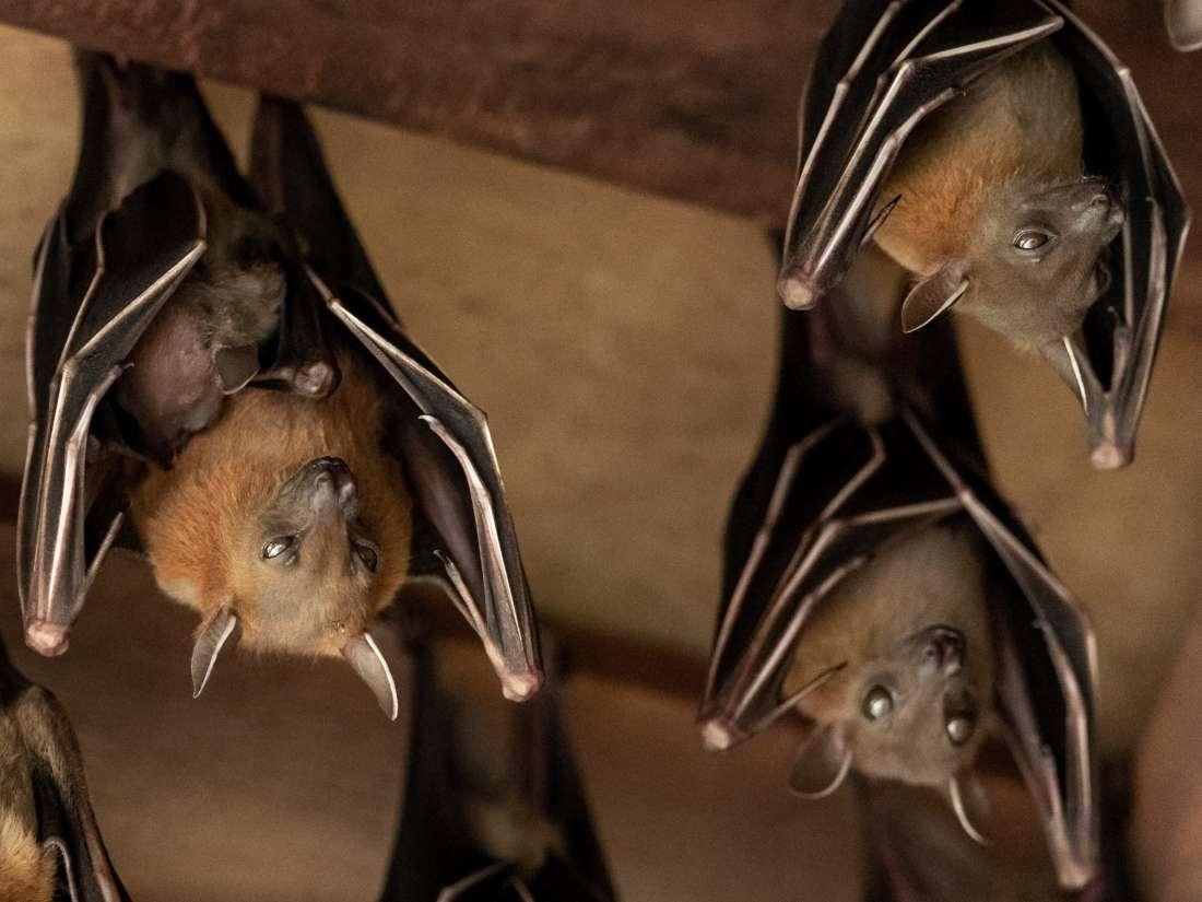 Gut bacteria: How bats 'shift the paradigm'
