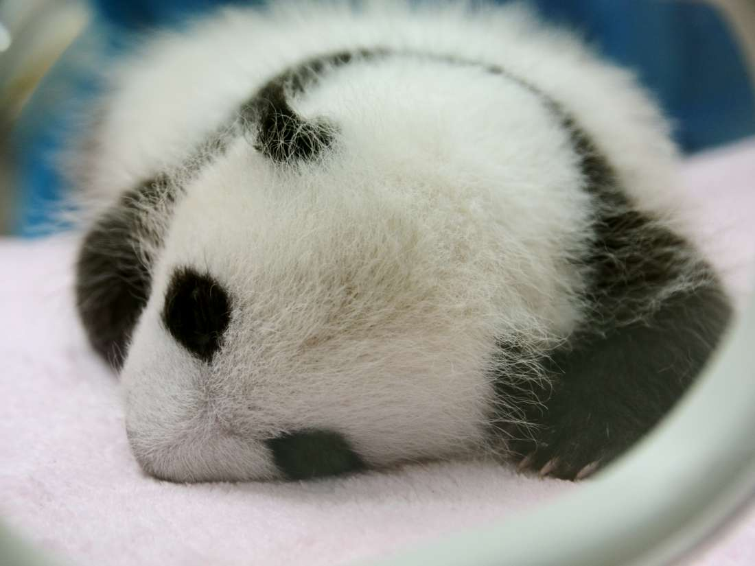 Why Are Baby Pandas So Small Study Explores